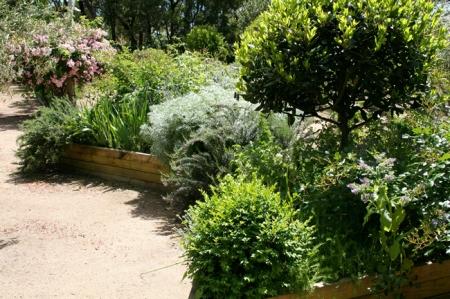 Bay tree in herb garden.