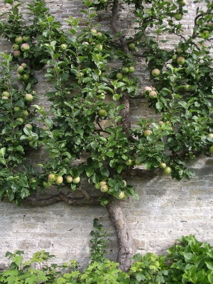 Espaliered apple