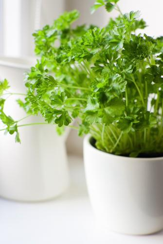 Basil, coriander, parsley, etc. I use herbs so much that the real supply will be in the veggie patch. A pot or two in the scullery will mostly be aesthetic. Source: Divine Caroline.