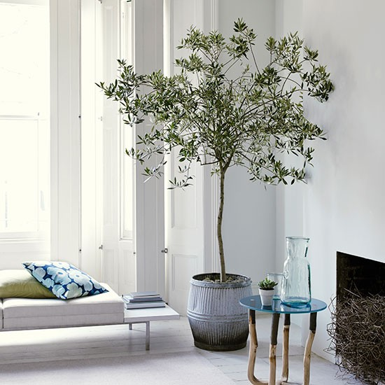 Potted olive tree.