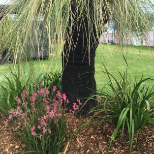 Grass trees and kangaroo paws.