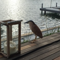 Nankeen night heron.
